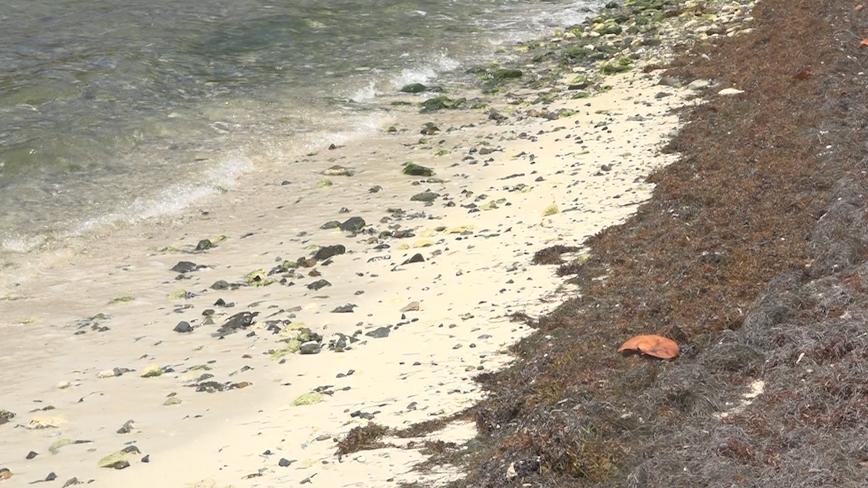 Sargassum increase on VI beaches, UVI professor discusses uncertain future